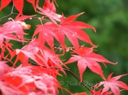 #002 Red Maple