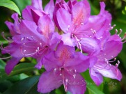 #007 Purple Rhodie