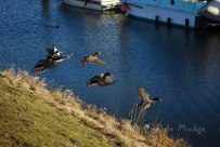 #036 Ducks in Flight