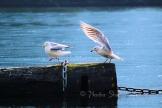 #042 Seagull Dance