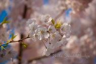 #088 Spring Cherry
