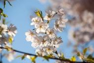 #089 Spring Cherry-1