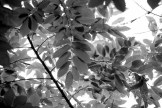 #093 Chestnut Leaves B&W