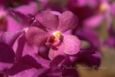 #164 Purple Orchid