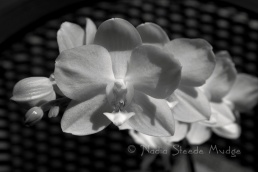 #165 Yellow Orchid BW