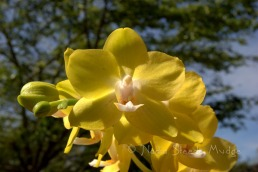 #166 Yellow Orchid