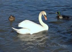 #225 Stanley Park Swan DSC_9965