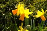 #247 Spring Daffodils DSC_0577