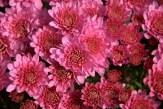 #332 Autumn blooms DSC_2919