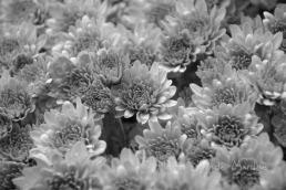 #344 Autumn blooms b&w DSC_3020